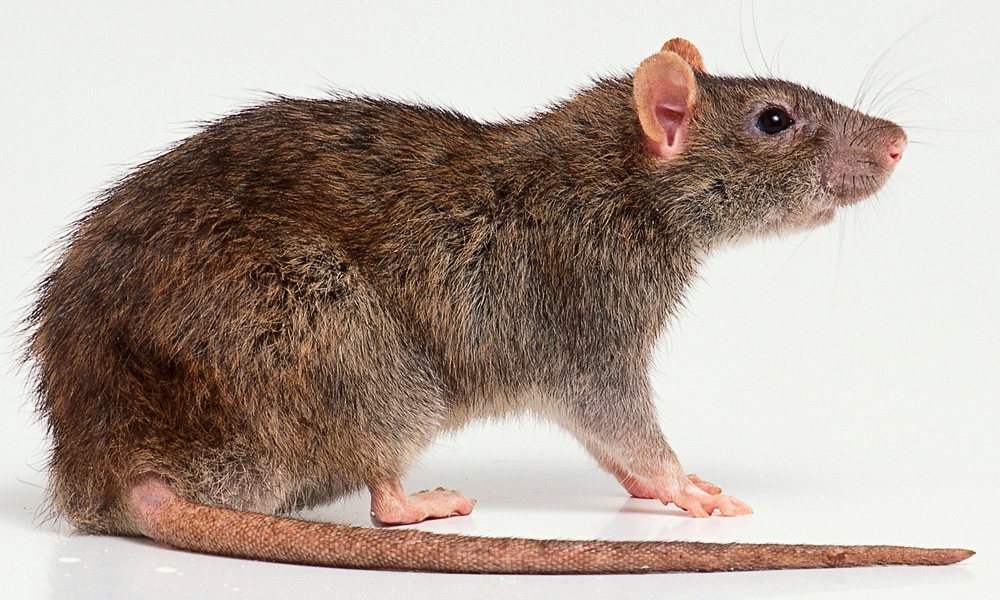 A rat … not necessarily the one hanging out with Madonna.